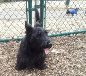 Dewey the Scottie at Carlisle Family Dog Park